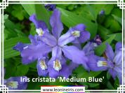 Iris%20cristata%20%27Medium%20Blue%27%20.jpg