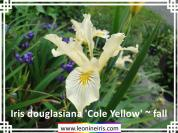 Iris%20douglasiana%20%27Cole%20Yellow%27%20~%20fall%20.jpg