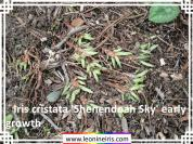 Iris%20cristata%20%27Shenendoah%20Sky%27%20early%20growth%20.jpg