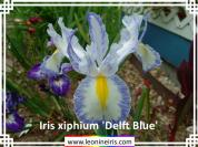 Bulbs%2FIris%20xiphium%20%27Delft%20Blue%27%20.jpg
