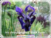 Iris%20chrysographes%20%27Black%20Form%27%20.jpg