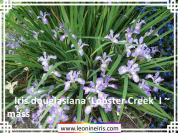 Iris%20douglasiana%20%27Lobster%20Creek%27%20I%20~%20mass%20.jpg