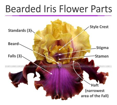Parts of the Bearded Iris Flower