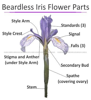 Beardless Iris Flower Parts
